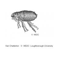 A female flea ES-DL 57 (Artist: Chatterton, Ken)