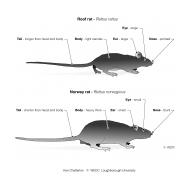 Morphological differences between rats ES-DL 58 (Artist: Chatterton, Ken)