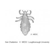 The adult body of a louse ES-DL 56 (Artist: Chatterton, Ken)