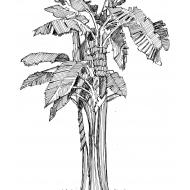 Banana tree (Artist: Shaw, Rod)