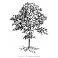 Young tree (Artist: Shaw, Rod)
